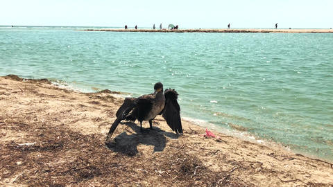 Black cormorant on the sea beach spread its wings Footage