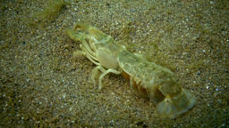 Sea cliff (Upogebia pusilla) - a species of crustaceans of the superfamily kalia Footage