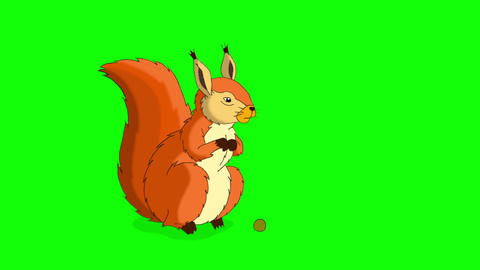 Rufous Squirrel Sitting and Eating Nuts. Chroma Animation