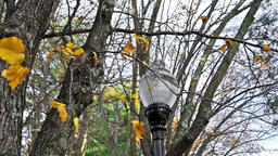 Lantern or lamp with golden leaves on tree during windy day in autumn Footage