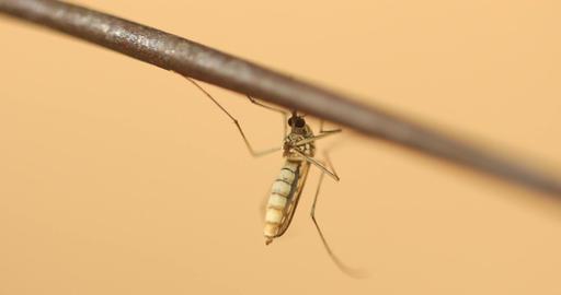 Mosquito macro shot Live Action