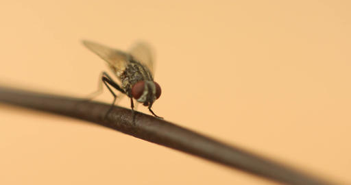 Insect Fly macro shot Footage