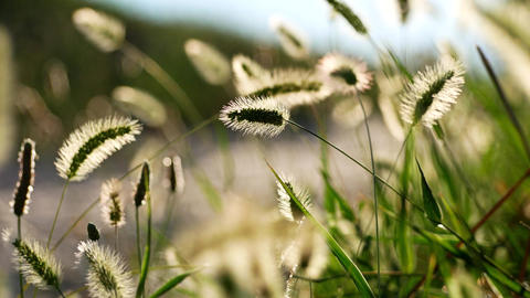 Swaying grass spikes close-up shallow focus shot Footage