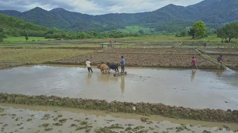 Closeup Farmers Harrow Flooded Ground by Oxen against Skyline Footage