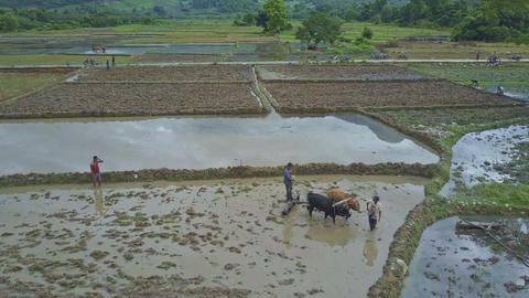 Closeup Farmer Draws Brown and Black Oxen to Harrow Ground Plot Footage