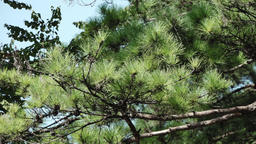 Pine tree in the mountain Footage