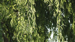 Willow in the wind 画像