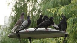 30 pigeon Footage