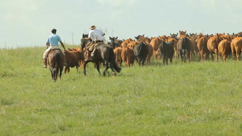 3 Gauchos on horses organizing the cattle Footage
