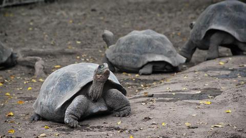 Giant Tortoises Live Action
