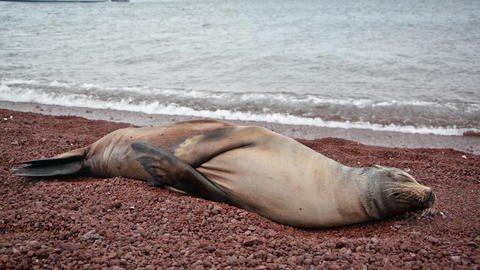 Galapagos Sea Lion Live Action