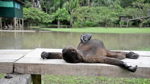 Woolly Monkey Relaxing Footage