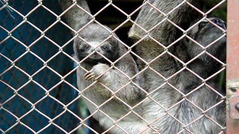 Three Toed Sloth Closeup Footage