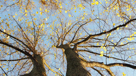 Autumn Tree with Yellow Leaves 画像