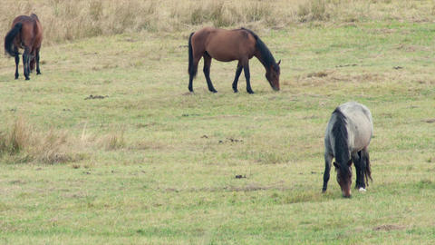 Horses on the meadow, grazing ภาพวิดีโอ