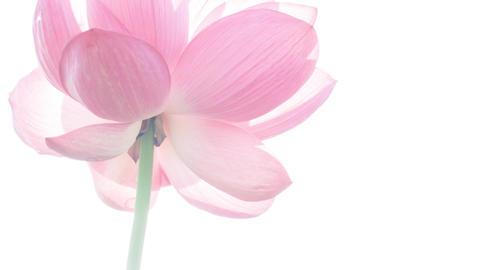 Lotus #014 Image