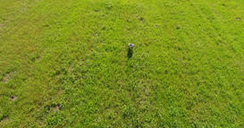 Low altitude aerial following stork bird walking over just cut grass Footage