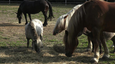 Group of horses eating hay. Horses eating hay on the farm Footage