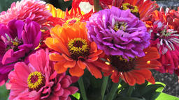 Bright bouquet of multi colored zinnia flowers. A zinnia bouquet of just cut Footage