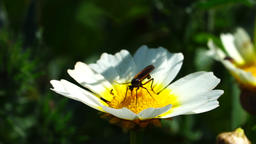 Bug sitting on an oxeye daisy Footage