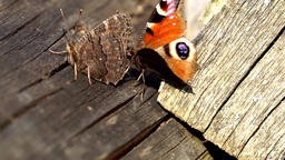 Mating trial of two butterflies; European peacock (Aglais io) Footage