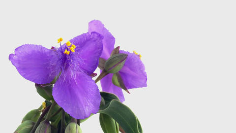 Blooming Flowers Time Lapse, Tradescantia ohiensis Footage