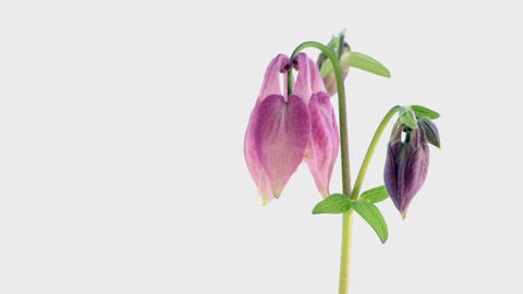 Blooming Flowers Time Lapse, Aquilegia buergeriana Footage