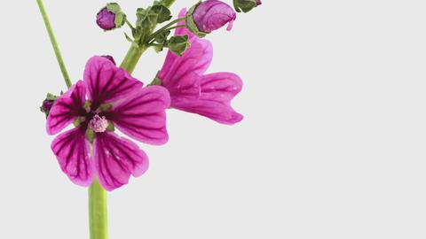 Blooming Flowers Time Lapse, Malva sylvestris ライブ動画