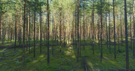Forest trees. Flying trough forest. Tree woods Footage