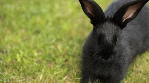 Black Rabbit On Green Grass ビデオ