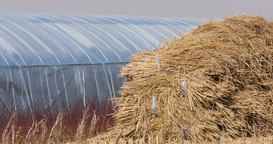 Focusing A sheaf of paddy rice field at winter green house in south korea Footage