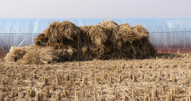A sheaf of paddy rice field at winter green house in south korea Footage