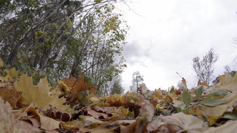 Disordered motion of trees in a hardwood forest under wind action at the end of  Footage
