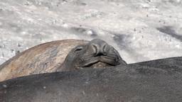 Sleepy Elephant Seal Footage