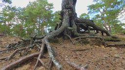 Steadicam shot of Tree Roots in a Forest Footage