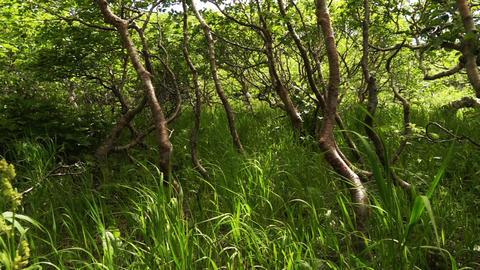 Dwarf Birches Forest Footage