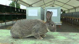 The breed of the rabbit chinchilla, the exhibition Footage