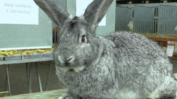 The breed of the giant rabbit chinchilla, the exhibition Archivo