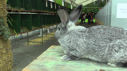 OLOMOUC, CZECH REPUBLIC, JULY 30, 2017: The breed of the giant rabbit Archivo