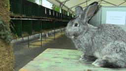 The breed of the giant rabbit chinchilla, the exhibition Footage