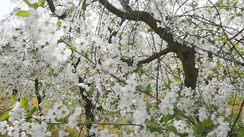 Beautiful and colorful orchard in the spring Footage