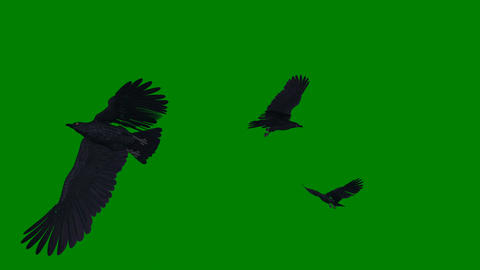 Black Ravens - Flying Loop - Green Screen - 4K CG動画素材