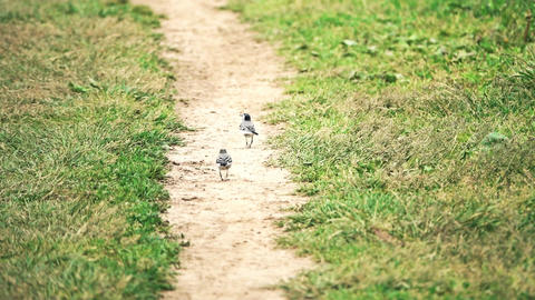 Two funny wagtail birds on a sandy road Footage
