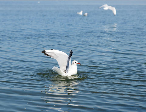 white seagull gull floating in the sea Foto
