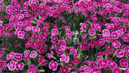 Dianthus flower in bloom Footage