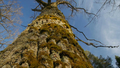 a Shallow Depth of Field Focused on the Moss on a Tree Trunk Footage