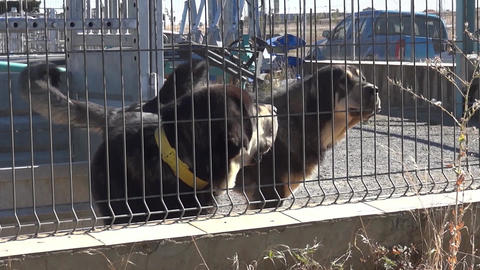 Two dogs in a factory yard. One of them, playful, moving tail. The other bark at Footage