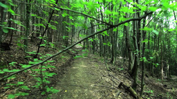 Walk through the green forest early summer on a meandering path 17 Footage