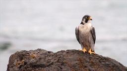 Peregrine Falcon on a rock Footage