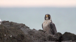 Peregrine Falcon from Japan Footage